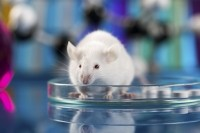 The new mouse model more accurately characterizes an adult human's immune system. (Image: iStock/JacobStudio)