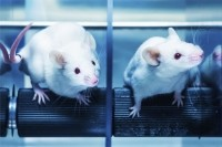 The new mouse model lacks three types of interferons. (Image: iStock)